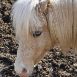 A miniature pony named Boo in Hastings, MN.