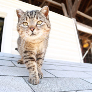 Beautiful, well cared for barn cat.