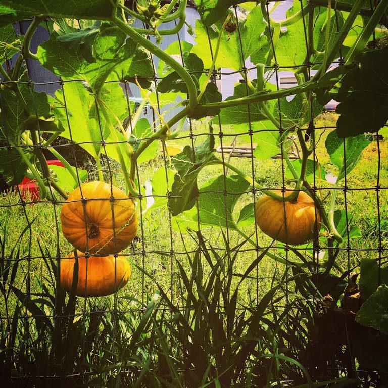 Pumpkins in Waterloo garden
